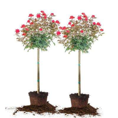 4 ft. - 5 ft. Double KnockOut Rose Tree (2-Pack)