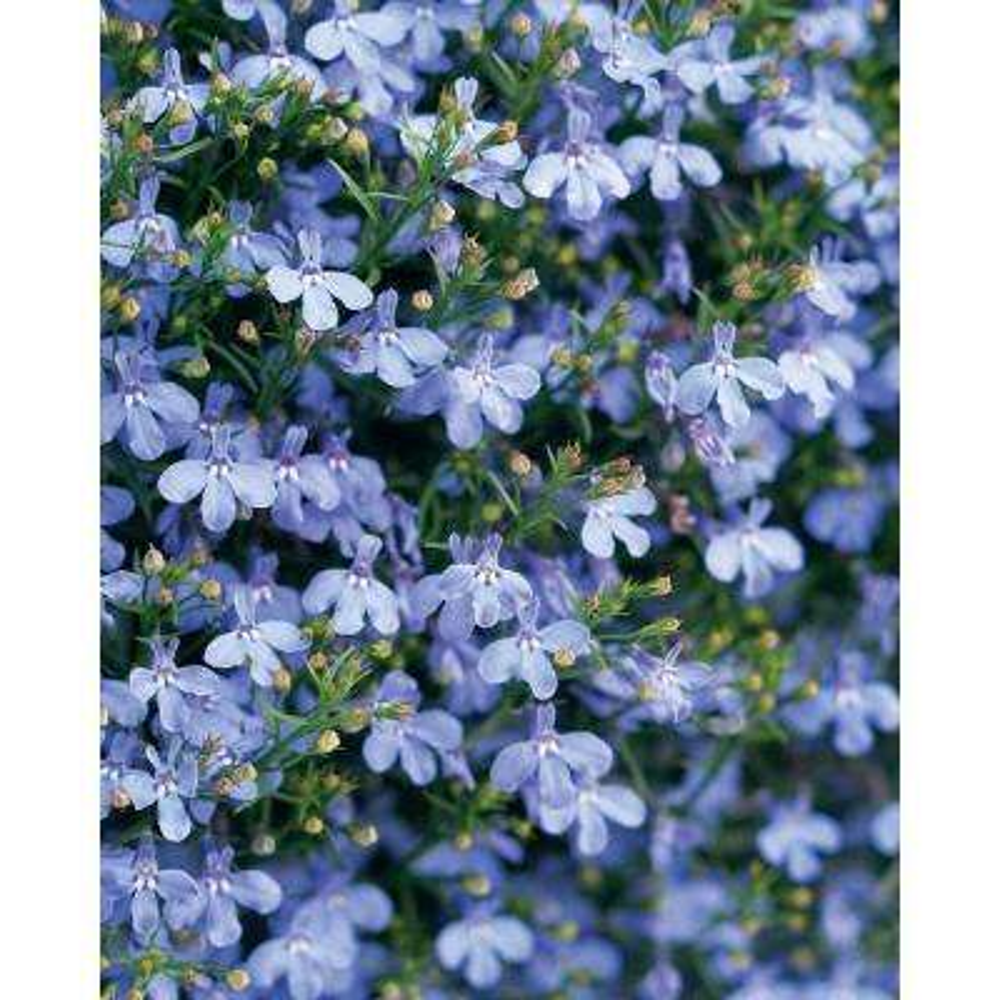 Lobelia Annuals Garden Plants Flowers The Home Depot