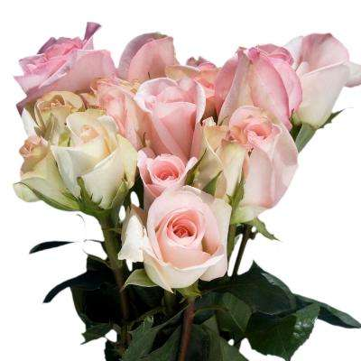 Fresh Pastel Pink Color Roses (250 Stems)