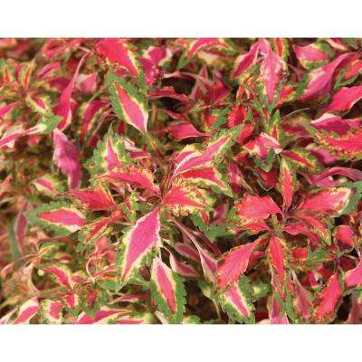 Pink Chaos Coleus (Solenostemon) Live Plant Pink Green and White Foliage 4.25 in. Grande (4-Pack)