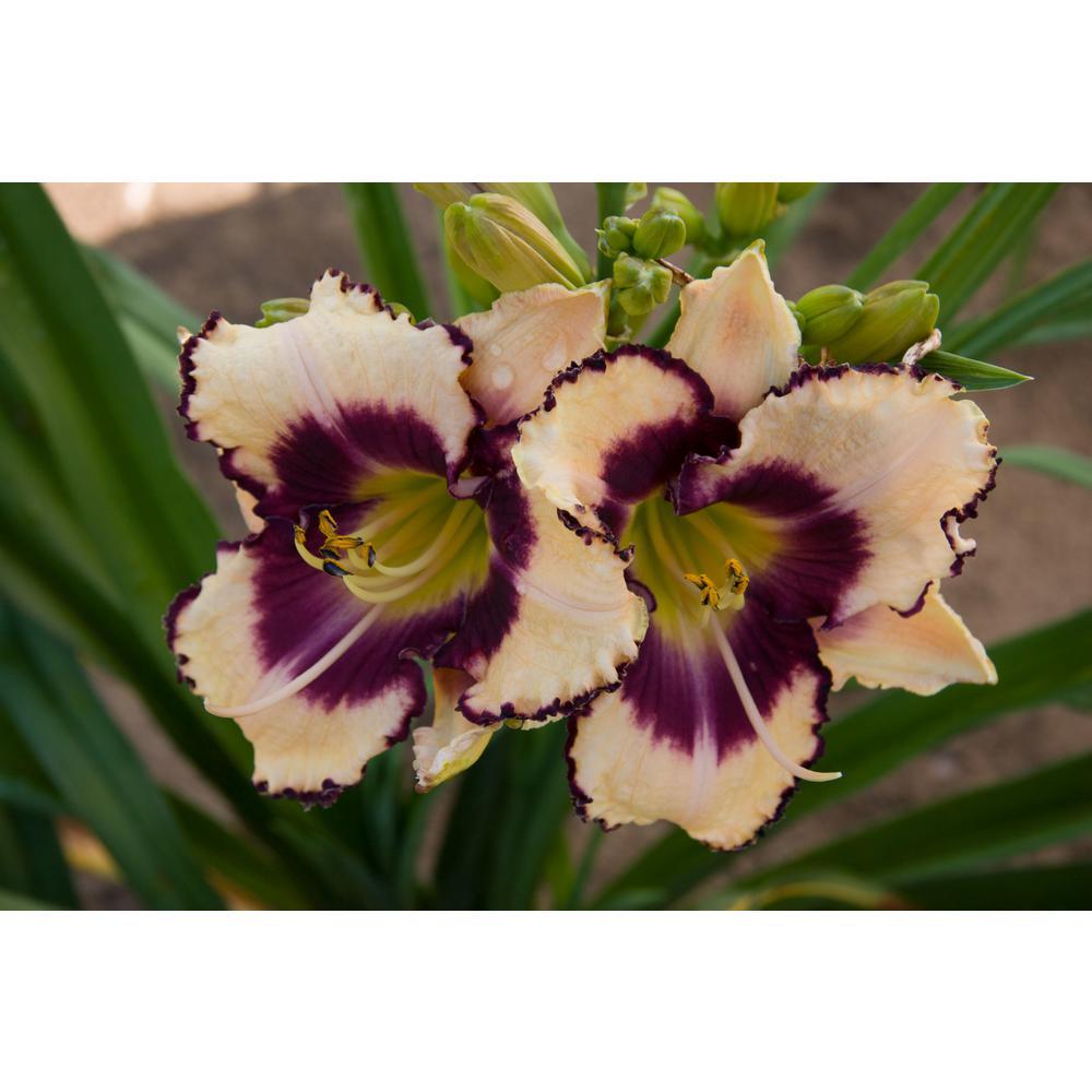Inwood Reblooming Daylily (Hemerocallis) Peach and Purple Flowering Perennial Live Bareroot Plant