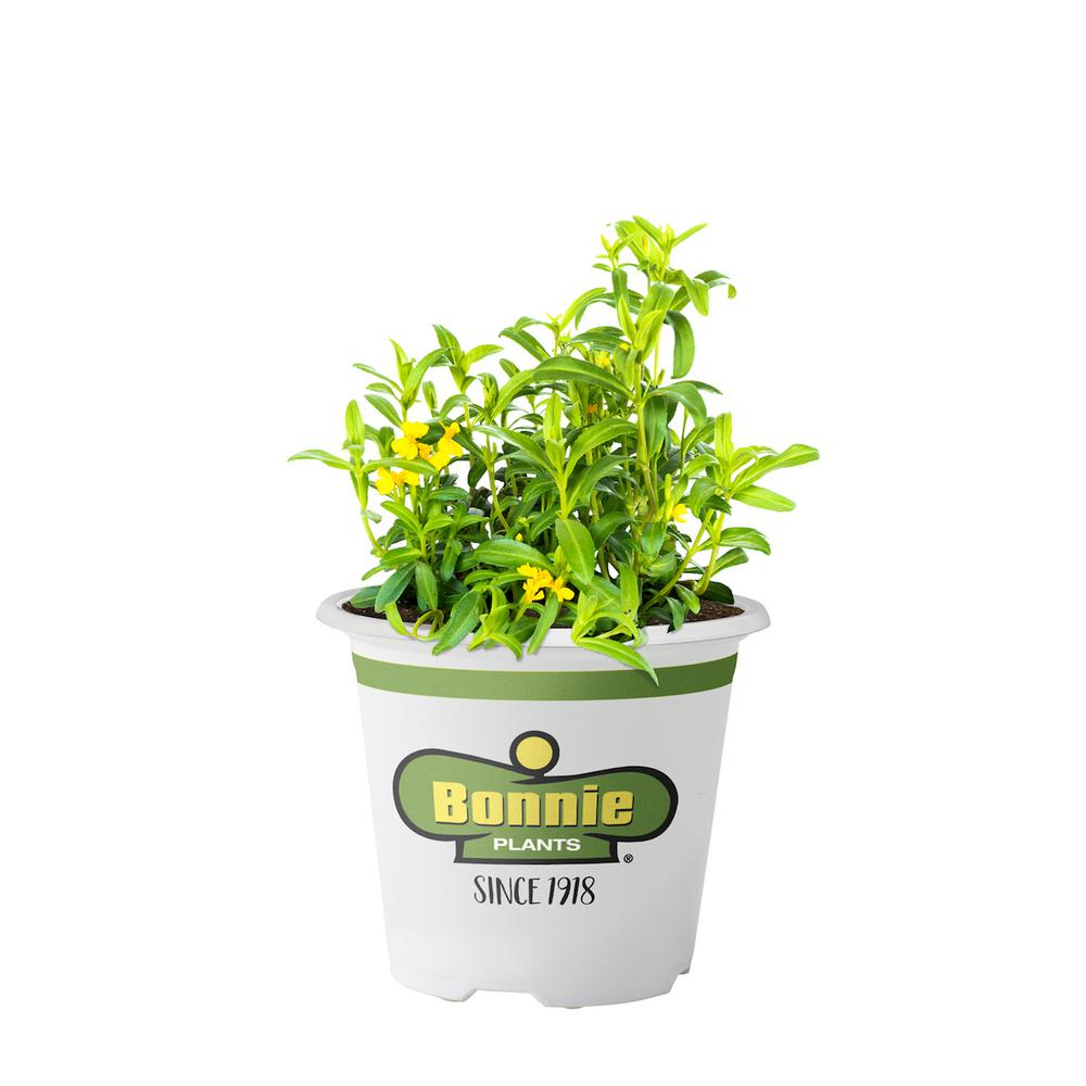 Bonnie Plants 4.5 in. Mexican Tarragon
