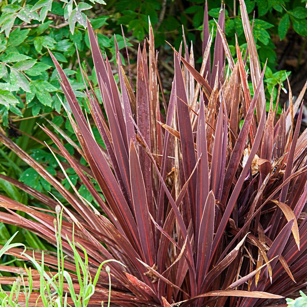 Spring Hill Nurseries 2 50 Qt Pot Red Sensation Cordyline Live Tropical Plant