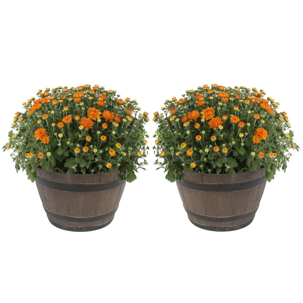 COSTAFARMS Costa Farms 3 Qt. Ready to Bloom, Orange, Fall Mums, Chrysanthemum in Whiskey Barrell (2-Pack)