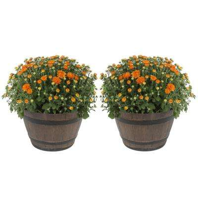 3 Qt. Ready to Bloom, Orange, Fall Mums, Chrysanthemum in Whiskey Barrell (2-Pack)