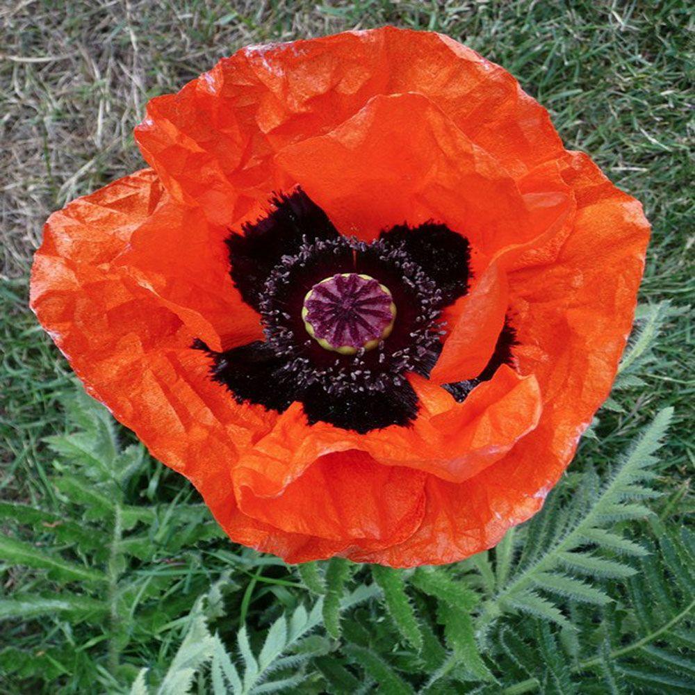 OnlinePlantCenter 1 gal. Allegro Oriental Poppy Plant
