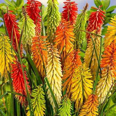 Torch Lily Mix (3-Pack)