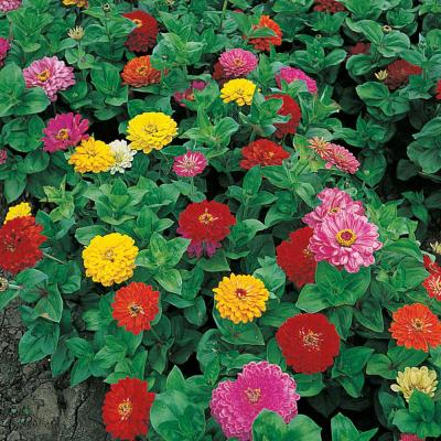 Zinnia Anniversary, Multi Color Flowers (75 Seed Packet)