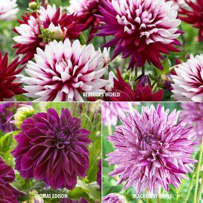 Dahlia Collection 3-Variety Bulbs (15-Pack)