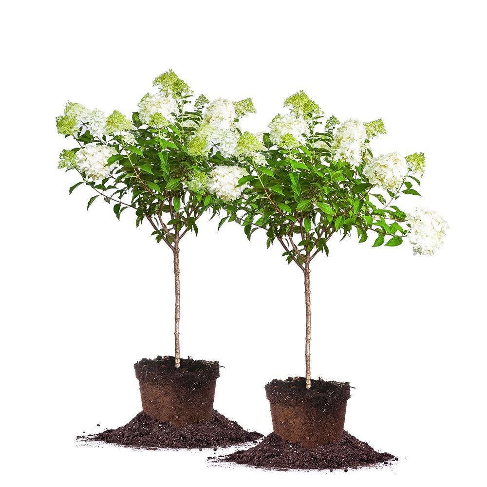 4 ft.- 5 ft. Limelight Hydrangea Tree (2-Pack)