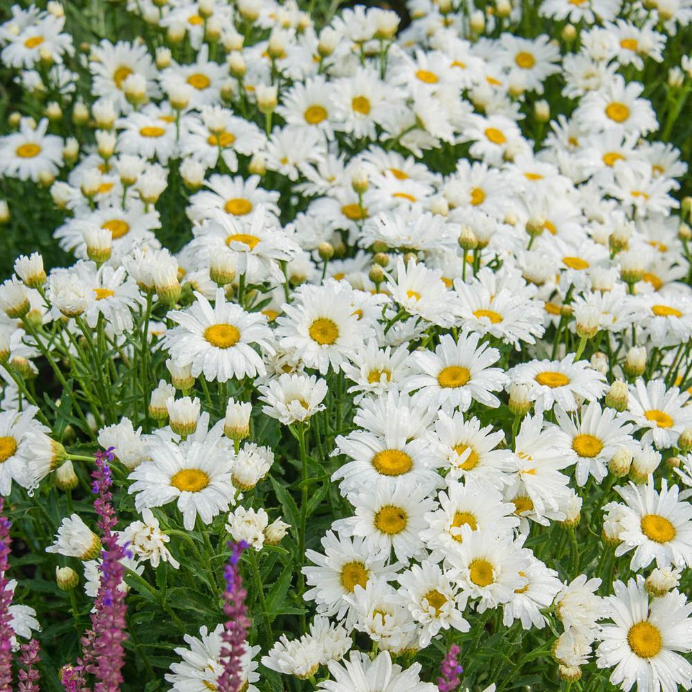 Alaska Shasta Daisy (Leucanthemum) Live Bareroot Perennial Plants White Flowers (3-Pack)