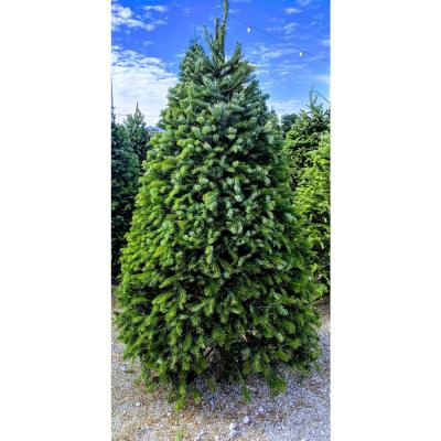 7.5 ft. Freshly Cut Nordmann Fir Live Christmas Tree (Real, Natural, Oregon-Grown)
