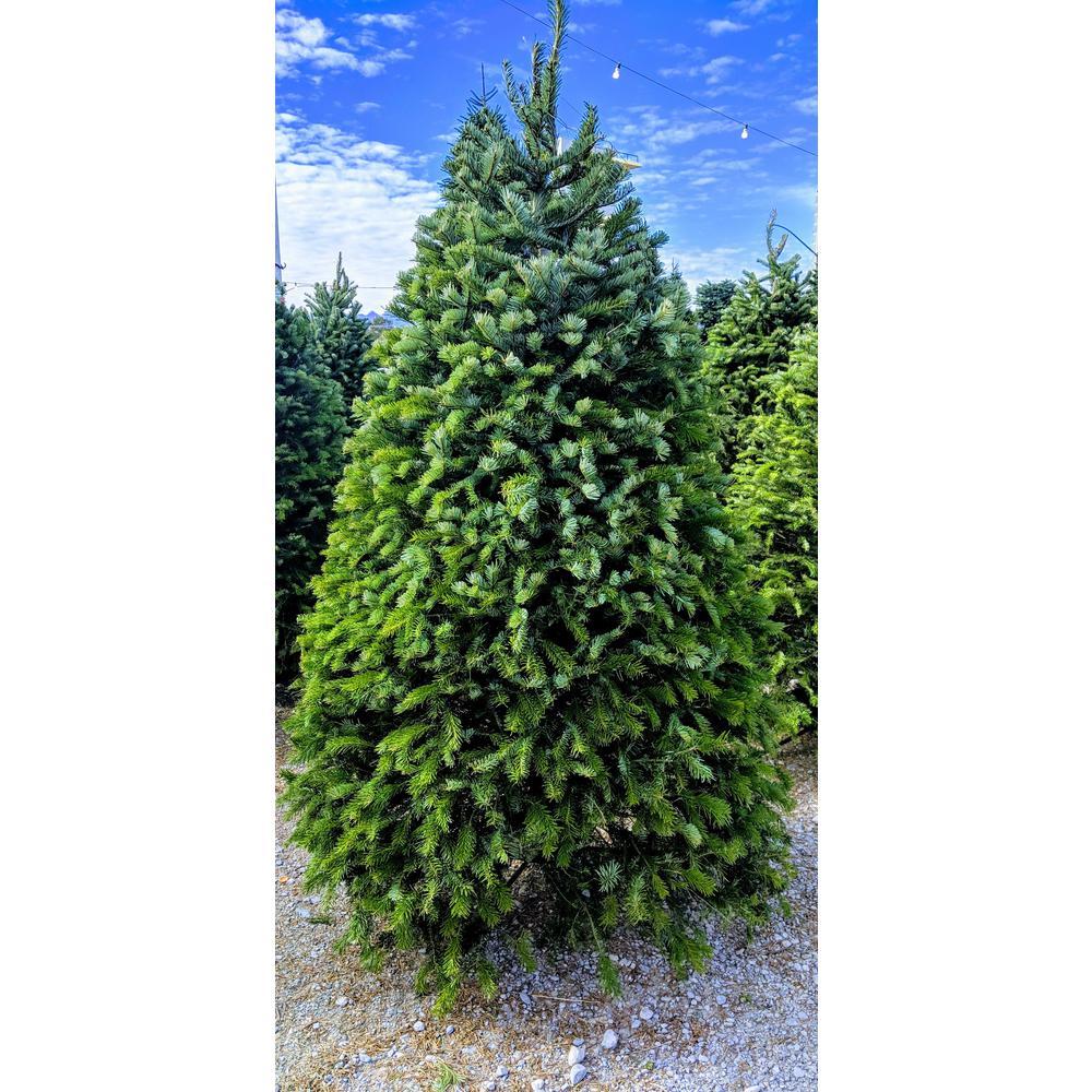 7.5 ft. Freshly Cut Nordmann Fir Live Christmas Tree (Real, Natural, Oregon-Grown)