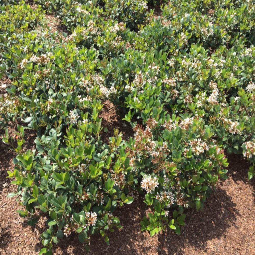 3 Gal Sweet Viburnum Shrub With White Flowers V465g3 The Home Depot