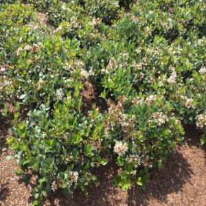 3 Gal Sweet Viburnum Shrub With White Flowers V465g3 The Home Depot