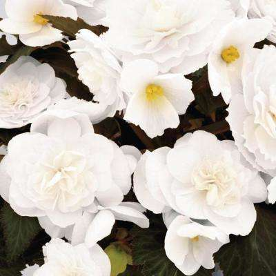 Begonia annuals garden plants flowers the home depot nonstop joy mocca white tuberous begonia live plant white flowers 425 in grande mightylinksfo