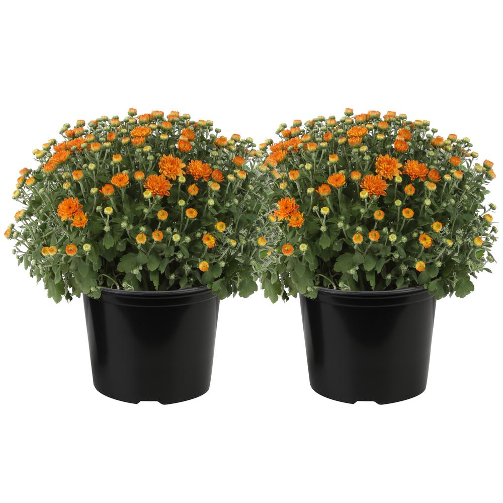 Costa Farms 3 Qt. Ready to Bloom Fall Mums Chrysanthemum (2-Pack), Orange