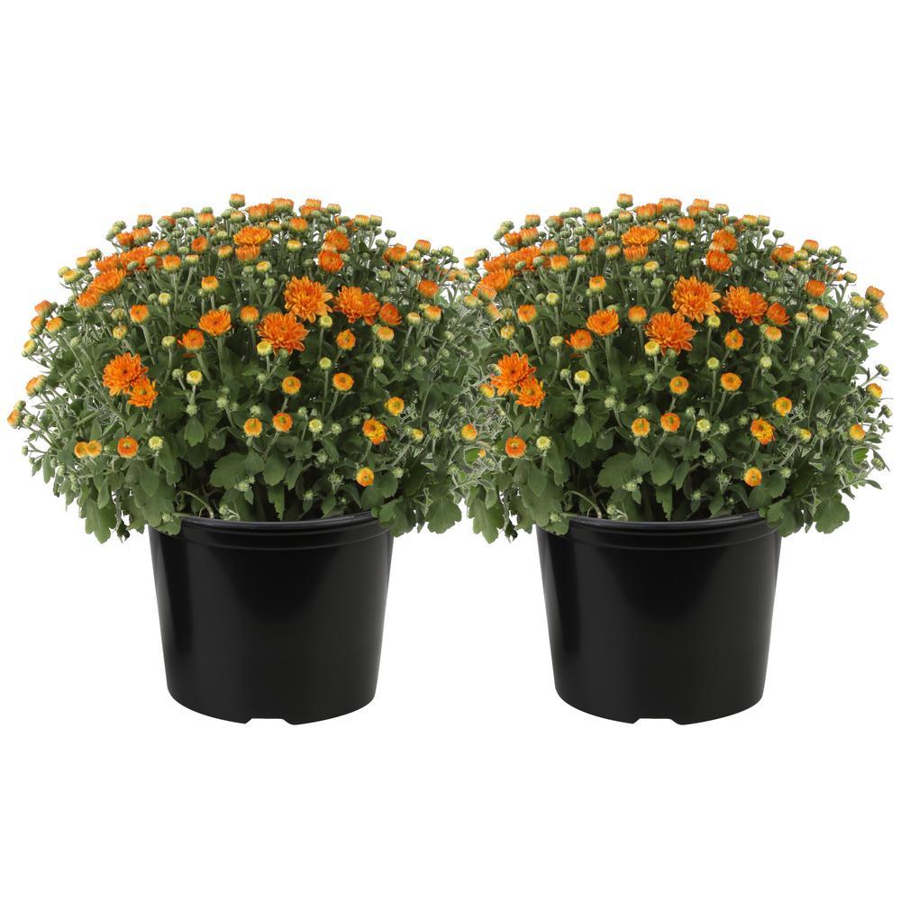 Costa Farms 3 Qt Ready To Bloom Fall Mums Chrysanthemum 2 Pack Orange Co Mum3qt 3 2pk The Home Depot