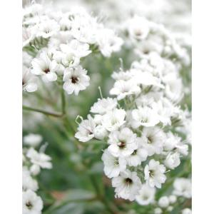 Festival Star Gypsophila 1 gal. Hardy Baby's Breath Shrub
