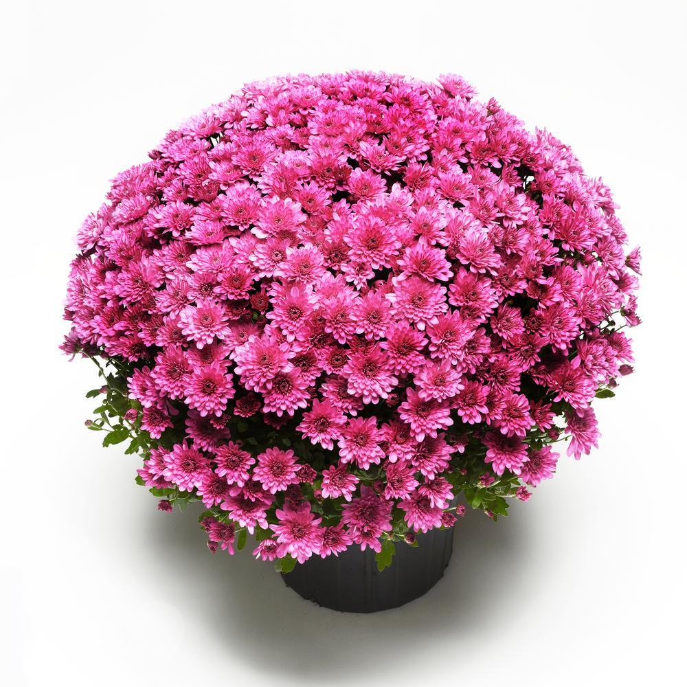 3 Qt. Chrysanthemum (Mum) Plant with Purple Flowers