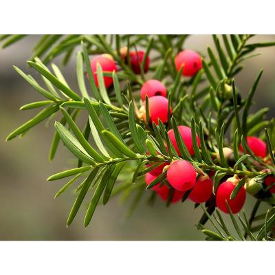1 Gal. Dark Green Dense, Lush Evergreen Perfect Hedge or Accent Spreading Yew Shrub