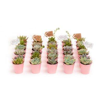 2 in. Wedding Event Rosette Succulents Plant with Pink Metal Pails and Thank You Tags (60-Pack)