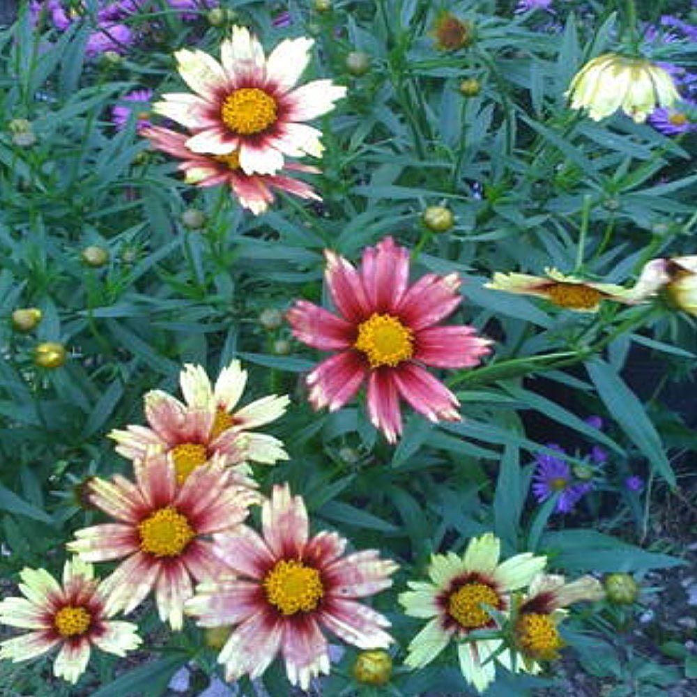 OnlinePlantCenter 1 gal. Red Shift Tickseed Coreopsis Plant