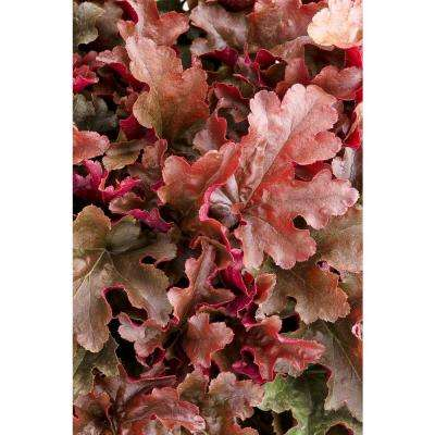 Dolce Cinnamon Curls Coral Bells (Heuchera) Live Plant, Red Foliage, 4.5 in. qt.