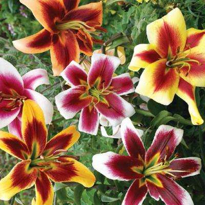 Giant Hybrid Lily Mix Bulbs (5-Pack)