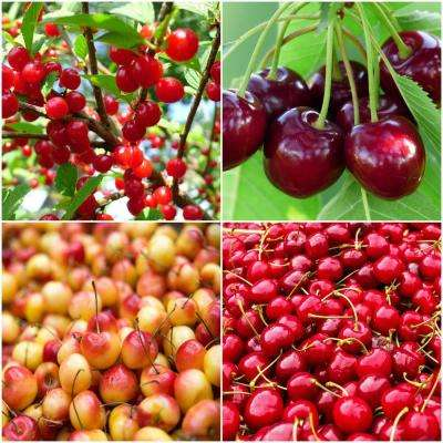 4-in-1 Cherry Jubilee Tree