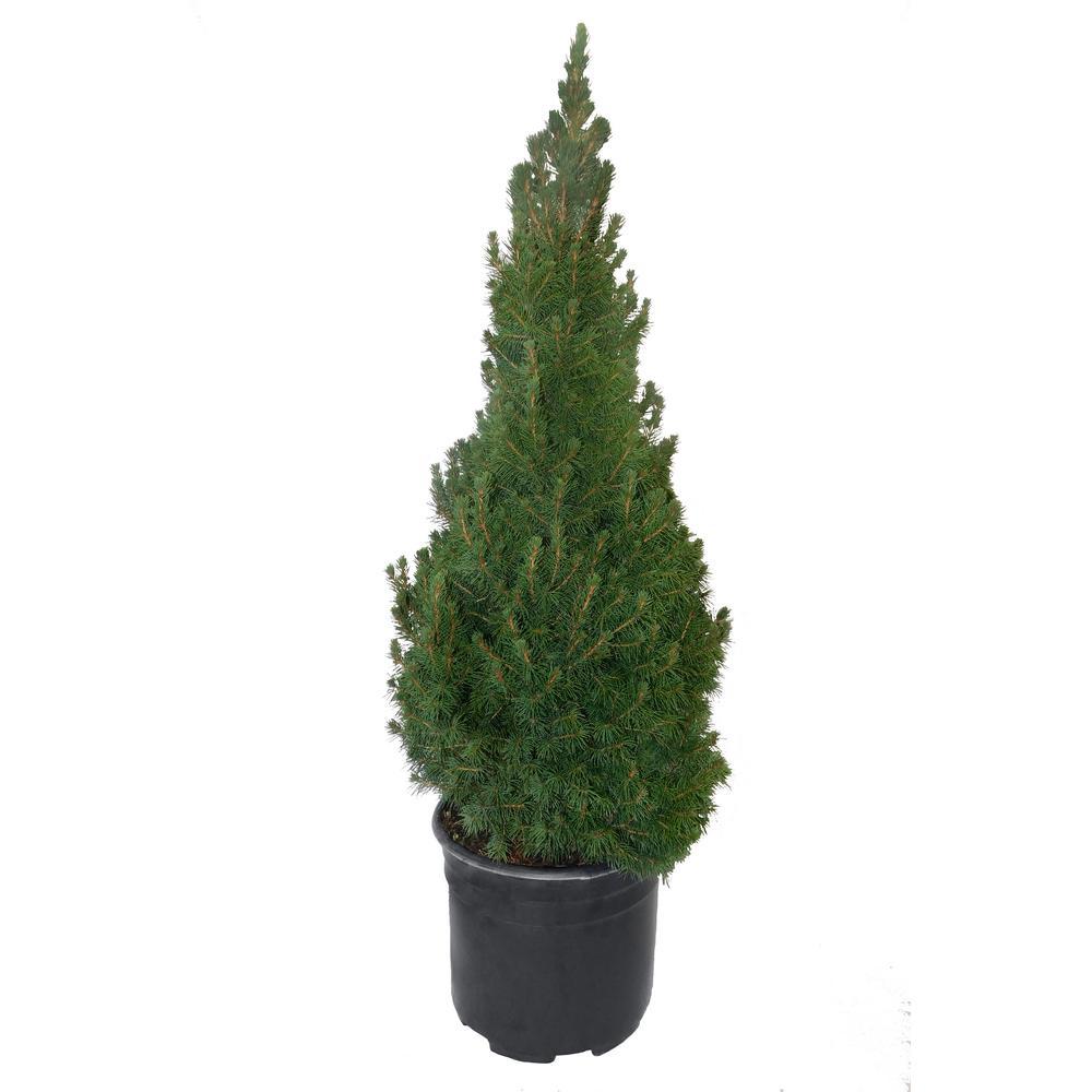3 Gal. Dwarf Alberta Spruce Shrub with Dense Green Needle Like Foliage