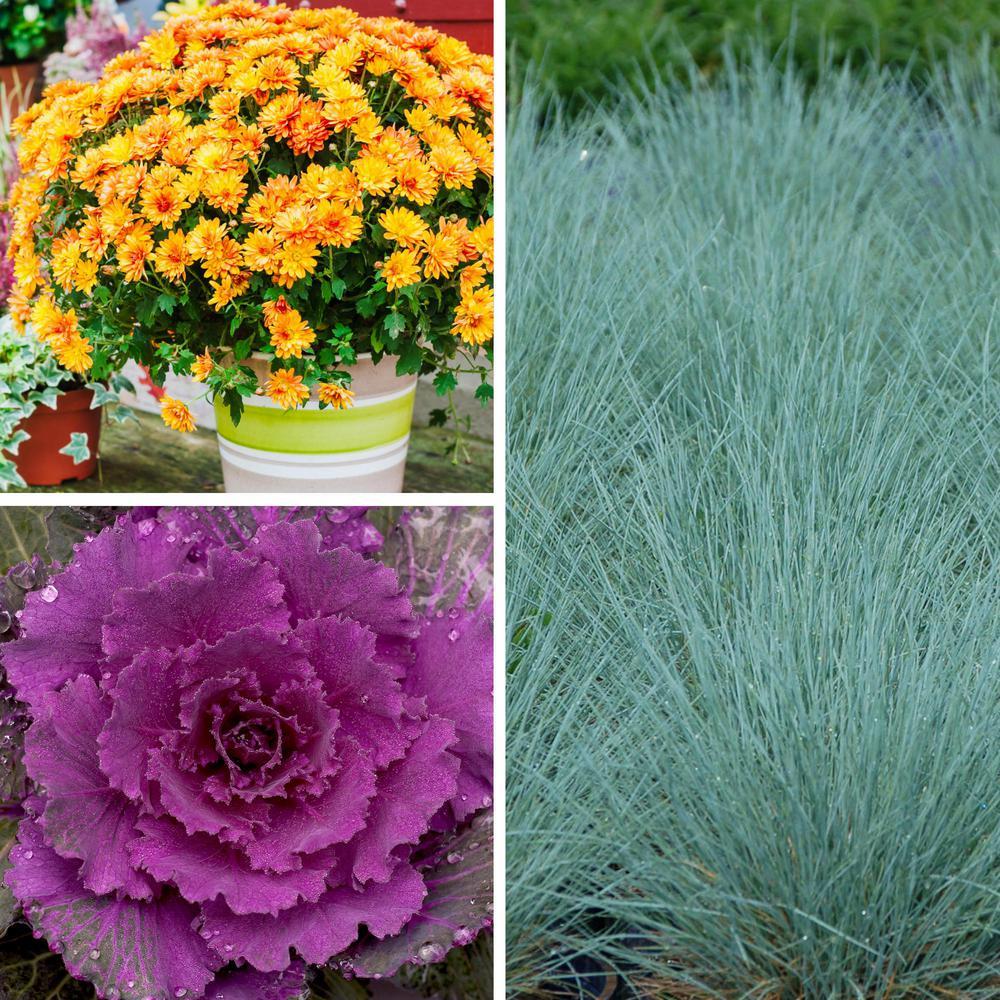 1 Qt. Front Porch Decor Kit Purple-Bronze-White Blooms Mum-Flowering Kale-Fescue Plants (3-Pack)