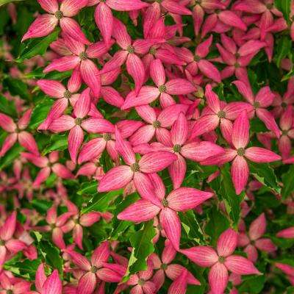 Scarlet Fire Dogwood (Cornus) Live Bareroot Ornamental Tree Pink Flowers (1-Pack)