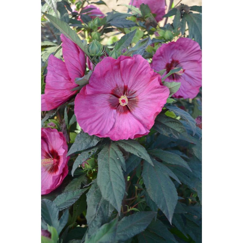 Petunia - Annuals - Garden Plants