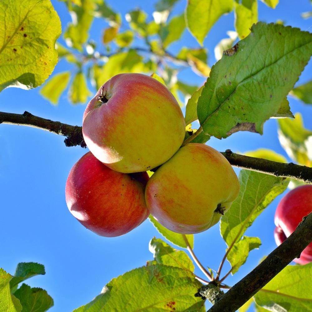 Anna Apple Tree Appann05g The Home Depot