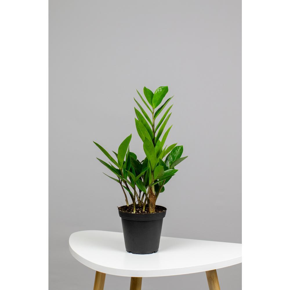 Zamioculcas Zamifolia - ZZ Plant 4 in. in Grower Pot