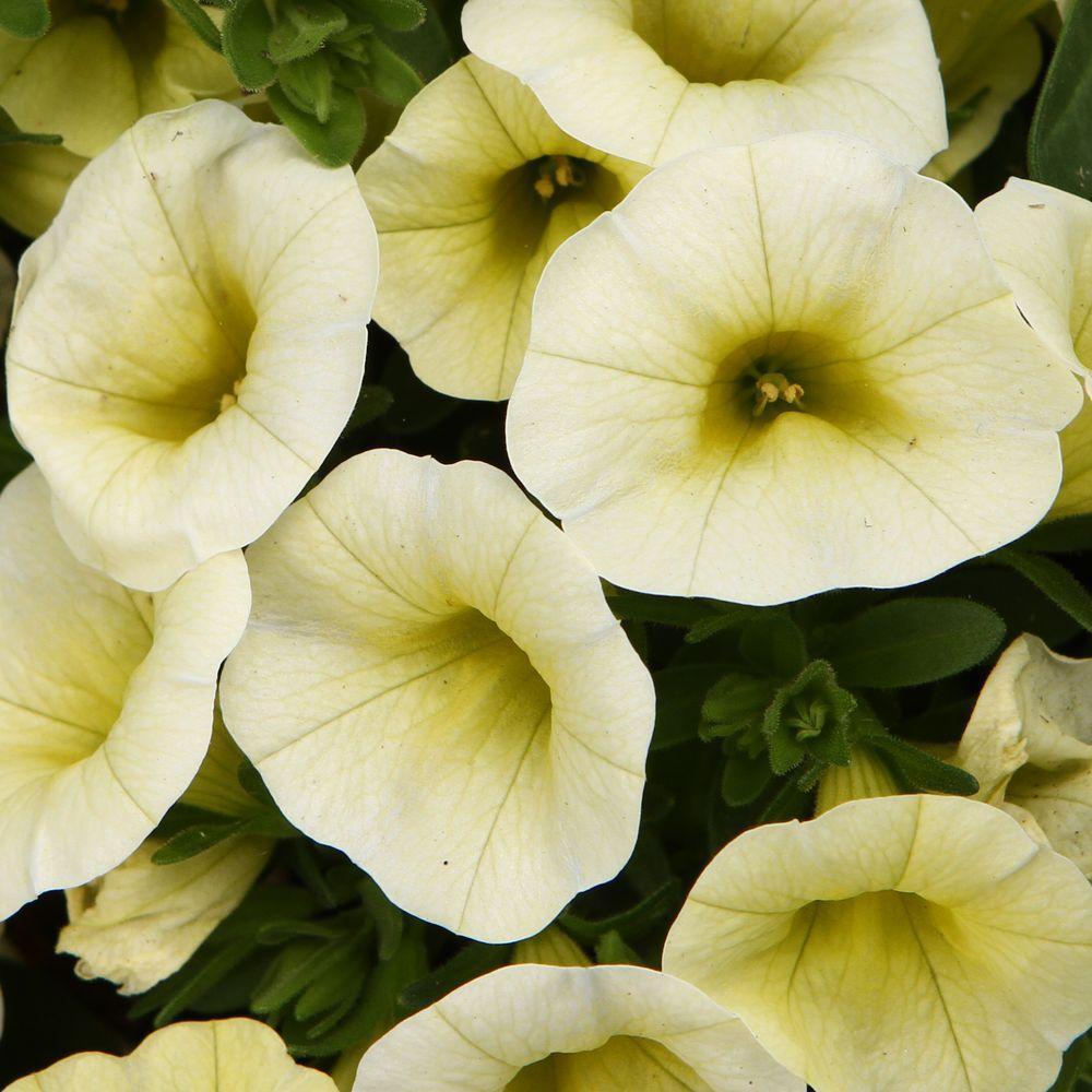 Superbells Yellow Chiffon (Calibrachoa) Live Plant, Yellow Flowers, 4.25 in. Grande