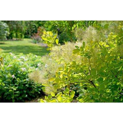 4.5 in. Qt. Winecraft GoldSmokebush(Cotinus) Live Plant in Gold Flowers