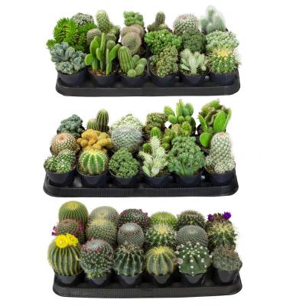9 cm Cactus Plant Collection (54-Pack)