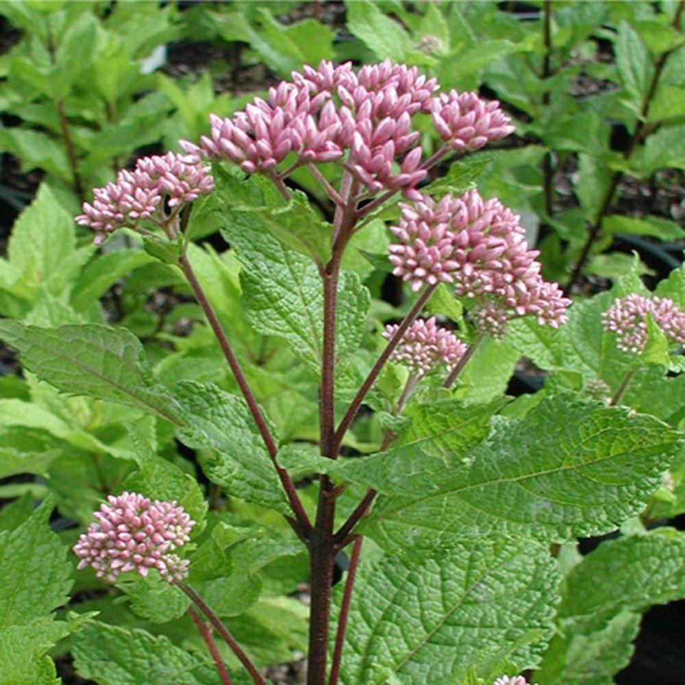 OnlinePlantCenter 2 gal. Little Joe Dwarf Pye Weed Plant