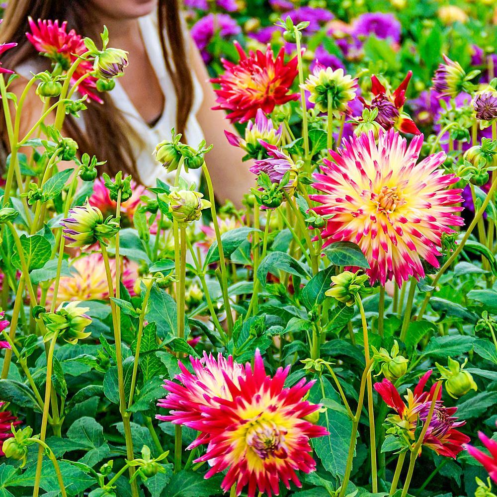 Breck S Multi Color Flowers Tahiti Sunrise Cactus Dahlia Bulbs 5
