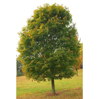 Norway Maple Tree - Among The Most Cold Hardy and Fastest Growing Maples (Bare Root, 3 ft. to 4 ft. Tall)