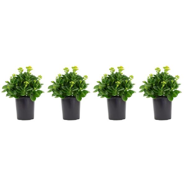 2.5 Qt. Kalanchoe Plant Yellow Flowers in 6.33 In. Grower's Pot (4-Plants)