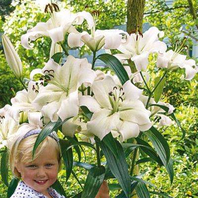 Giant Hybrid Lily Pretty Woman Bulbs (5-Pack)