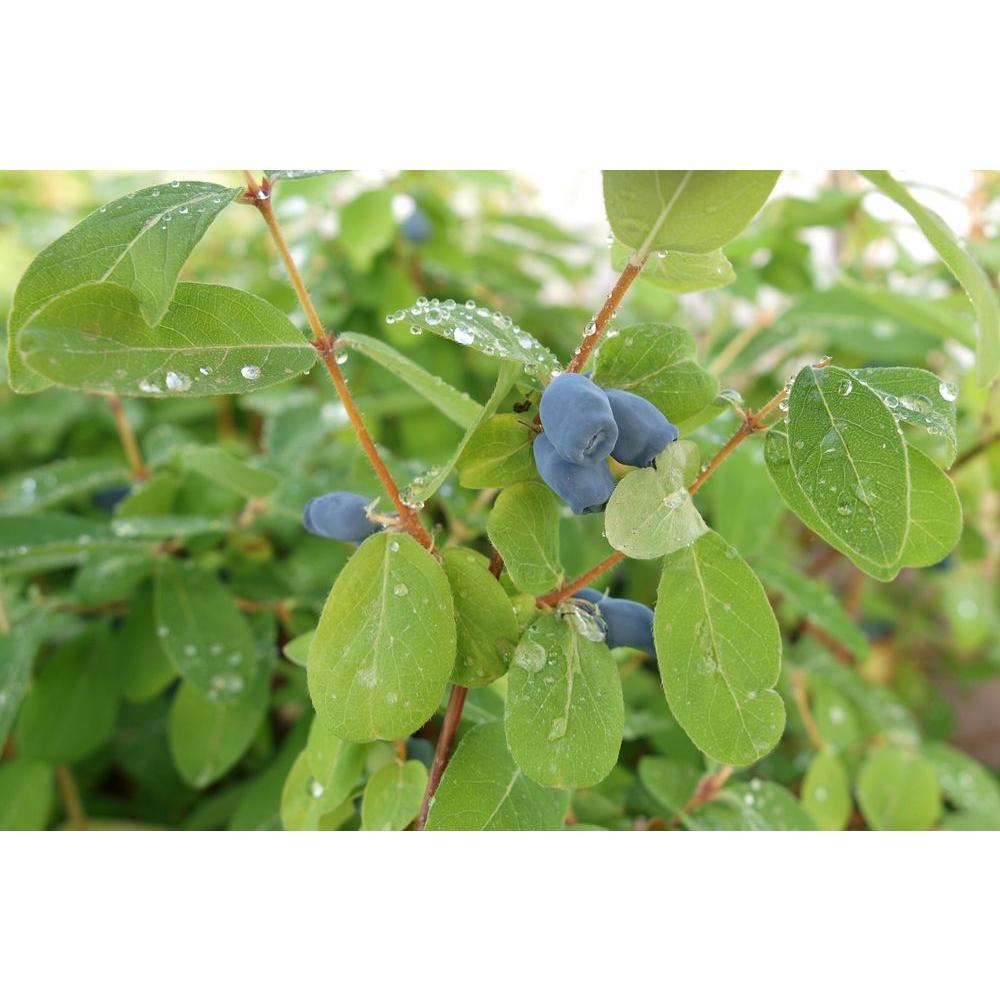 Honeysuckle - Trees & Bushes - Garden Center - The Home Depot
