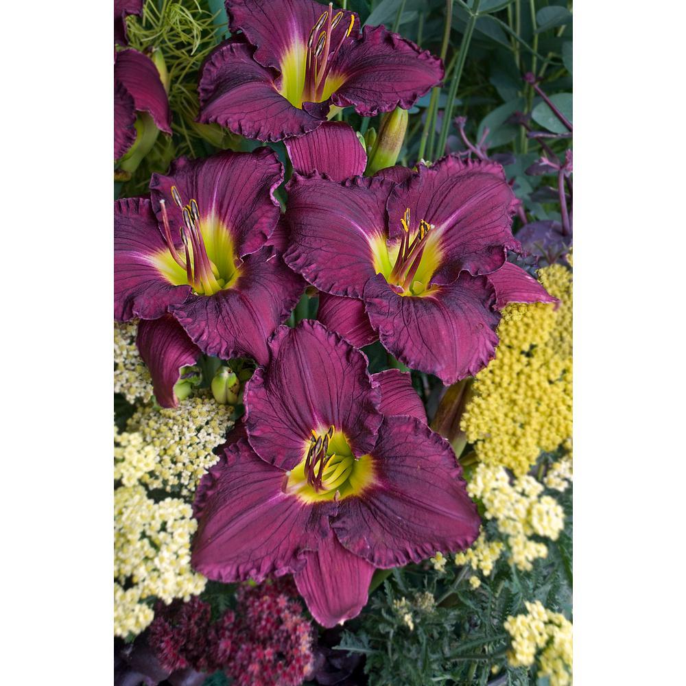 4.5 in. Qt. Rainbow Rhythm Purple Flowers with a Green Throat Nosferatu Daylily (Hemerocallis) Live Plant