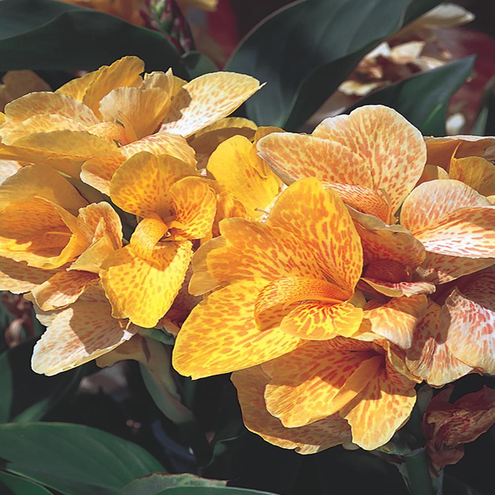 2.5 Qt. Cannova Yellow Canna Lily Plant