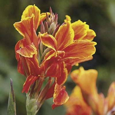Yellow Flowers Lucifer Dwarf Canna Lily Bulbs (5-Pack)