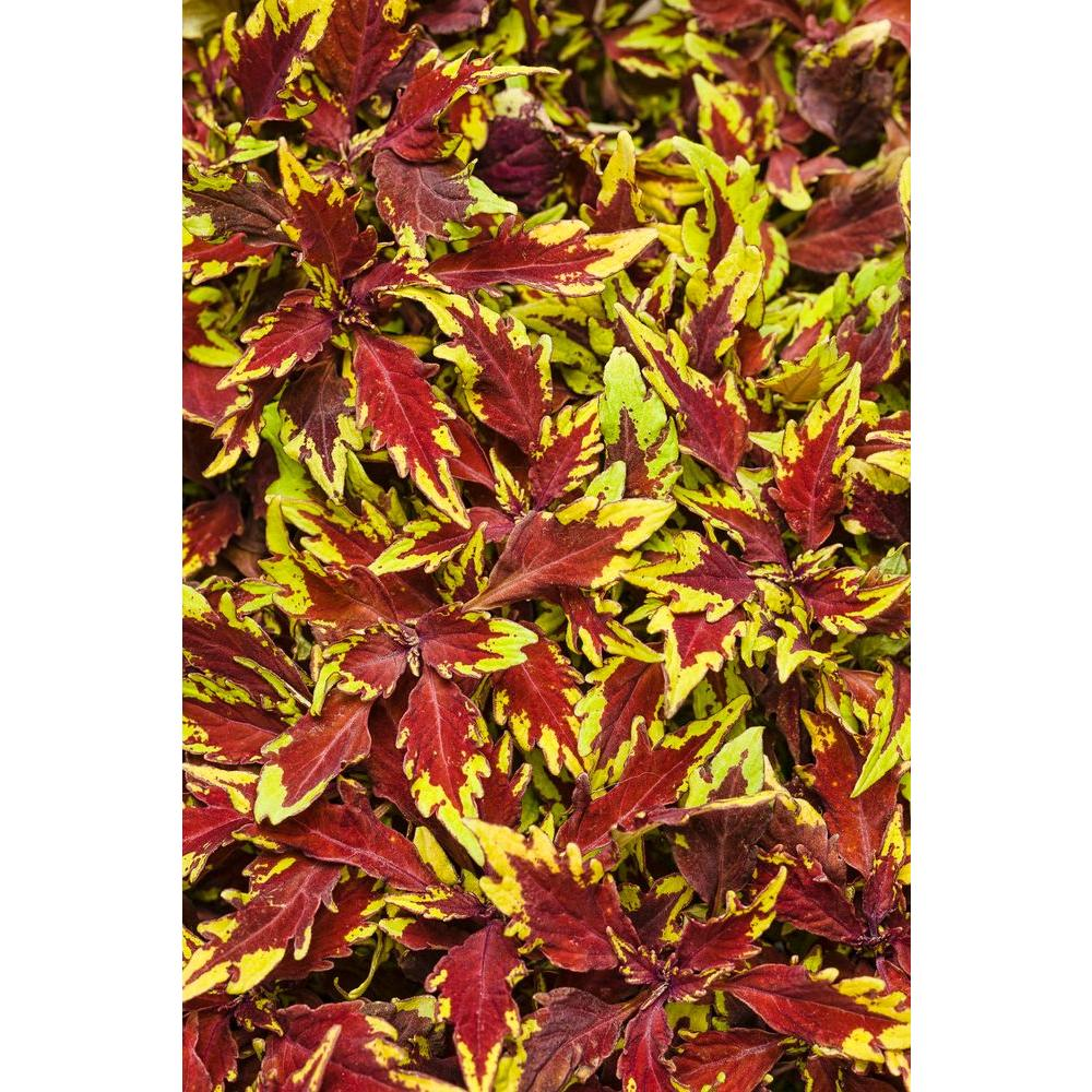 4.25 in. ColorBlaze Apple Brandy Coleus (Solenostemon) Live Plant, Burgundy and