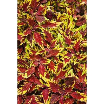 4.25 in. ColorBlaze Apple Brandy Coleus (Solenostemon) Live Plant, Burgundy and Chartreuse Foliage Grande (4-Pack)